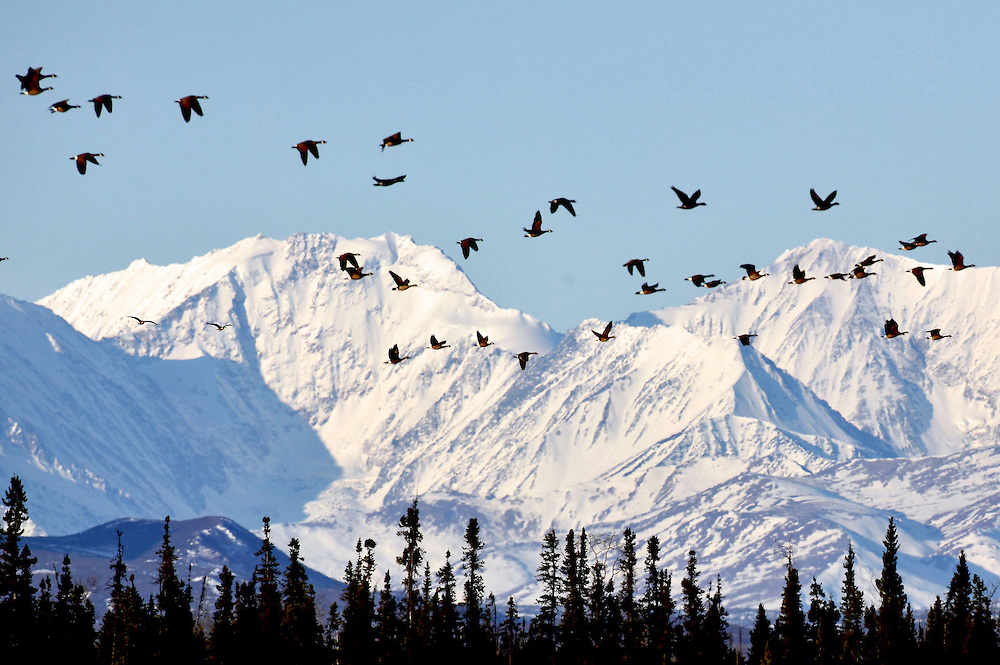 Alaska. Lesser Canada Geese (Branta canadensis) migrating past the mountains of the Alaska Range, near Delta Junction, Alaska.