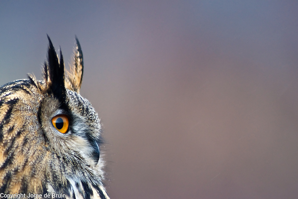 A closeup portrait of an Eurasian Eagle Owl in the Cairngorms National Park in Scotland