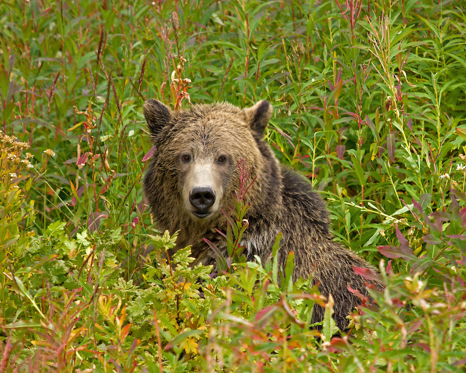 A young grizzly relaxes after enjoying the late summer berry crop in Yellowstone Park. At this time of year, grizzlies consume strawberries, globe huckleberries, grouse whortleberries and buffaloberries.