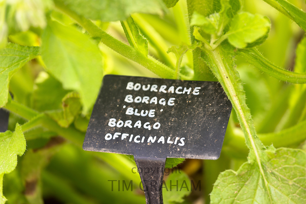Blue Borage, Borago officinalis, in organic vegetable garden at Raymond Blanc's Hotel in Oxfordshire UK