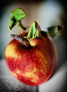 A ripe apple from Solebury Orchards in Bucks County Pennsylvania.