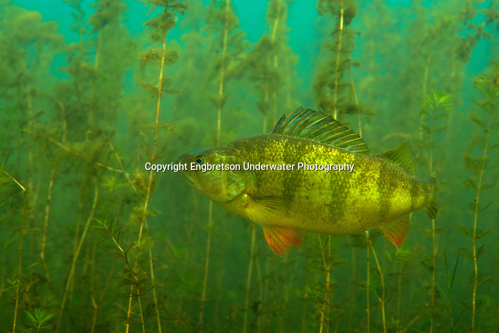 Yellow Perch<br />
