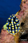 fried egg nudibranch or stinky finger, Phyllidia sp., Alamanda Bay, Tulamben, Bali, Indonesia