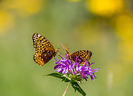 Fritillary butterfly lands on horsemint blossom occupied by another butterfly, mountain meadow, © 2010 David A. Ponton