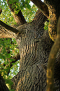 Trunk of an ancient sessile oak (Quercus petraea) in the Biosphere Reserve 'Niedersächsische Elbtalaue', Elbe valley, Germany |