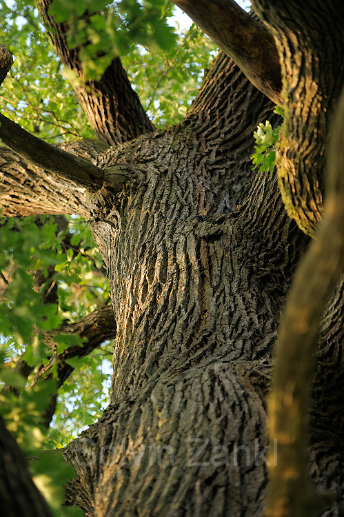 Trunk of an ancient sessile oak (Quercus petraea) in the Biosphere Reserve 'Niedersächsische Elbtalaue', Elbe valley, Germany |