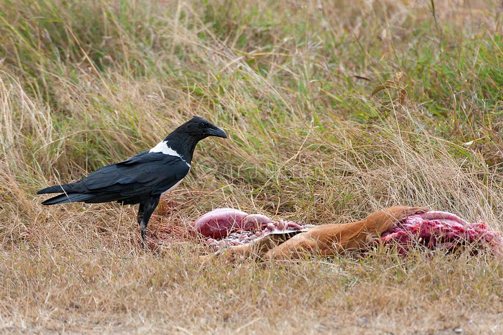 Pied Crow (Corvus albus) seeking food at a cheetah kill in Sweetwaters, Kenya.