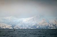 Killer whale, Orcinus orca, Lofoten, Norway