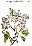 Old Woodcut print of Syringa vulgaris (lilac) printed in 1565