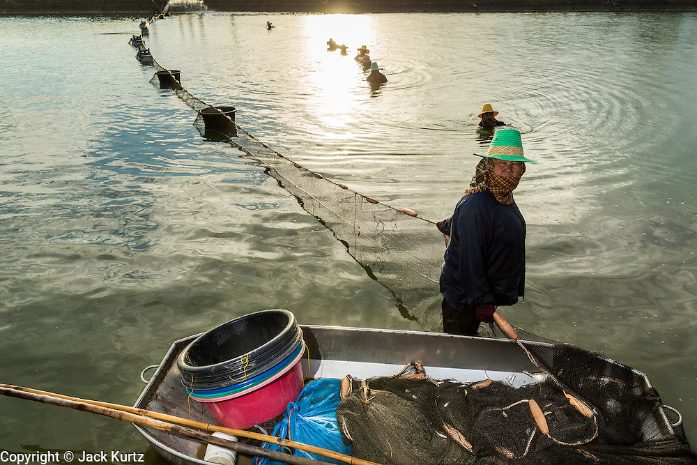 14 MAY 2013 - BANGKOK, THAILAND:  Workers on a shrimp farm in Saphunburi province of Thailand, harvest shrimp from a pond. Many farms in the area have been hit by EMS. Early mortality syndrome, better known as EMS -- or Acute Hepatopancreatic Necrosis Syndrome, (AHPNS) as scientist refer to it -- has wiped out millions of shrimp in  Thailand, the leading shrimp exporter in the world. EMS first surfaced in 2009 in China, where farmers noticed that their prawns had begun dying en-masse, without any identifiable cause. By 2011, shrimp farms in China's Hainan, Guangdong, Fujian and Guangxi provinces were suffering losses as great as 80%. Farmers named the disease based on its immediate effect – Early Mortality Syndrome. After China, EMS devastated shrimp farms in Vietnam, Malaysia. The province of Tra Vinh, Vietnam, saw 330 million shrimp die in the month of June 2011 alone. In Malaysia, where EMS first emerged in 2010, commercial prawn production declined by 42%. EMS hit Thailand in early 2013. As a result of early die offs in Thailand many farmers left their shrimp ponds empty and stores that sell shrimp farm supplies have reported up to 80% drop in business as shrimp farm owners have cut back on buying.      PHOTO BY JACK KURTZ