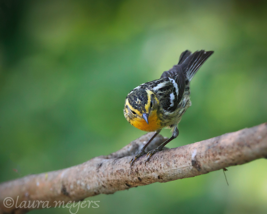 Blackburnian Warbler on branch during spring migration