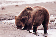 USA, Katmai National Park (AK)?Coastal brown bear (Ursus arctos) clamming on the beach