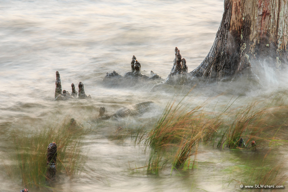Waves breaking against a Bald Cypress tree. Cypress trees can live up to 600 years and flourish on the shallow sounds of the Outer Banks NC.