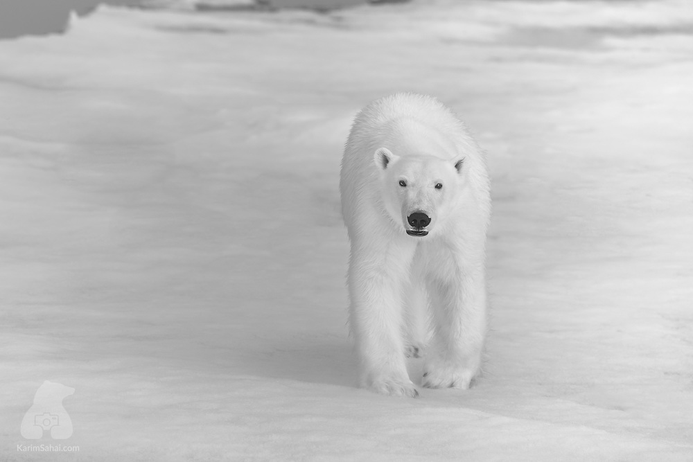 A polar bear approaches slowly towards the camera, Spitsbergen. Svalbard