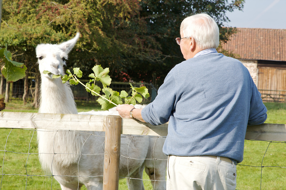 Will Gissane feeding Hamish the llama a vine trimming from the vineyard at his Herefordshire home<br /> CREDIT: Vanessa Berberian for The Wall Street Journal<br /> HOBBY-Gissane/UK