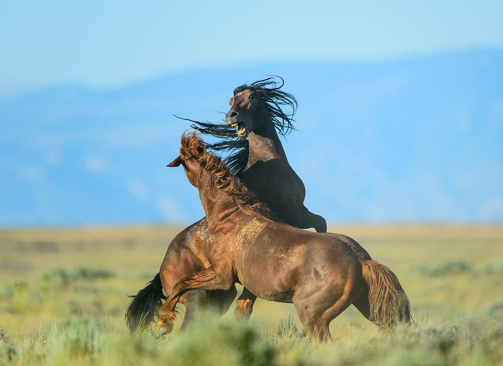 Wild Horse Stallions Fighting (Equus ferus), Western US