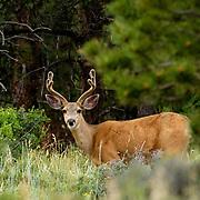 Odocoileus hemionus _Mule Deer, Rocky Mountain National Park, Colorado