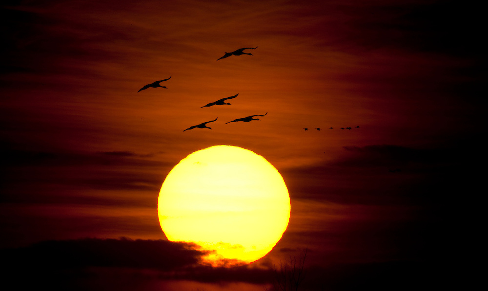 Sandhill Cranes fly into the Platte River in Nebraska as the sun sets during their annual migration north.