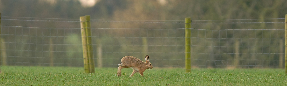 Brown Hare running by fence.