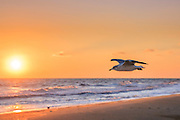 Seagull flying along a Outer Banks beach at sunrise.