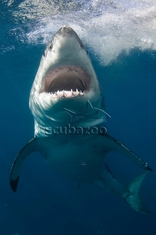 Great White Shark, Carcharodon carcharias, Neptune Islands, South Australia, Australia.