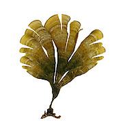 Peacock's Tail - Padina pavonia