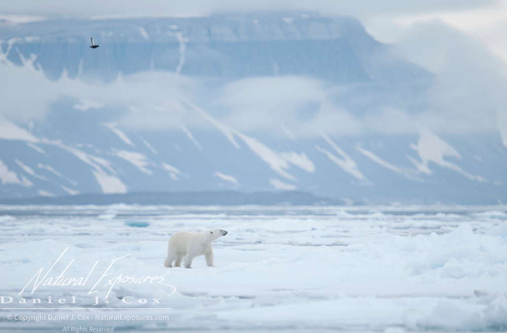 A polar bear on the pack ice near Svalbard, Norway.