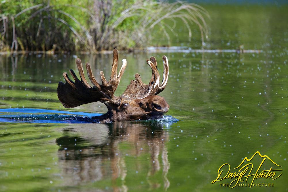 Bull Moose swimming in Grand Teton National Park