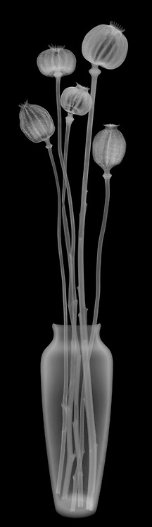 X-ray image of dried opium poppy capsule stalks in a vase (Papaver somniferum, white on black) by Jim Wehtje, specialist in x-ray art and design images.