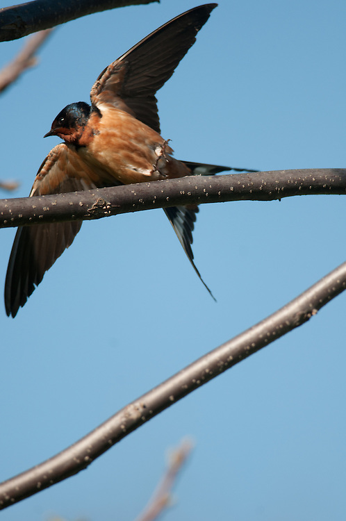 Barn Swallow taking off from a branch in Montezuma, NWR.
