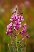 Fireweed Fireweed (Epilobium sp.)  blossom<br />Watson Lake<br />Yukon<br />Canada