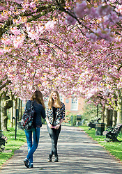 © Licensed to London News Pictures. 10/04/2014. London, UK. A young girl has her photograph taken by a friend.  People walk and play amongst the pink cherry blossom in bright sunshine at Greenwich Park in London today, 10 April 2014,The weather forecast is set to be brighter and warmer over the coming days.Photo credit : Stephen Simpson/LNP