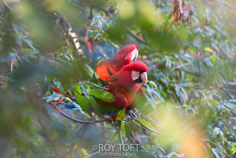 Pair of green-winged macaw perched in a tree.