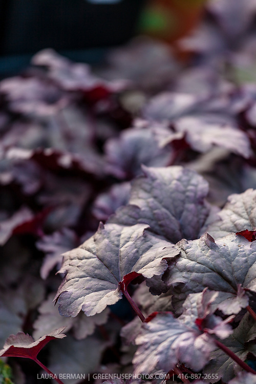 Plum Pudding heuchera (Heuchera 'Plum Pudding')