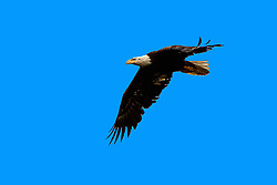 The American Bald Eagle ! <br />