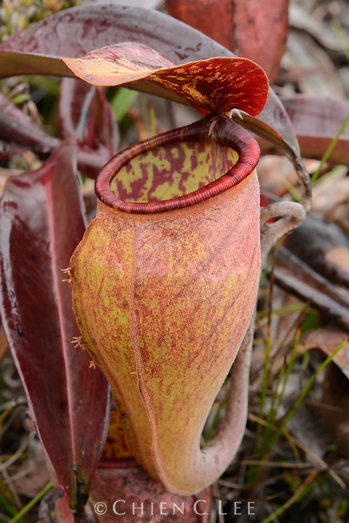 Endemic to Indonesian New Guinea, this pitcher plant (Nepenthes lamii) is known only from upper montane habitats, occasionally growing as high as 3500m where frosts occur.