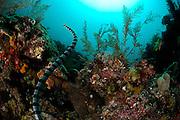 Belcher's sea snake (Hydrophis belcheri) Raja Ampat, West Papua, Indonesia, Pacific Ocean [size of single organism: 1,2 m]