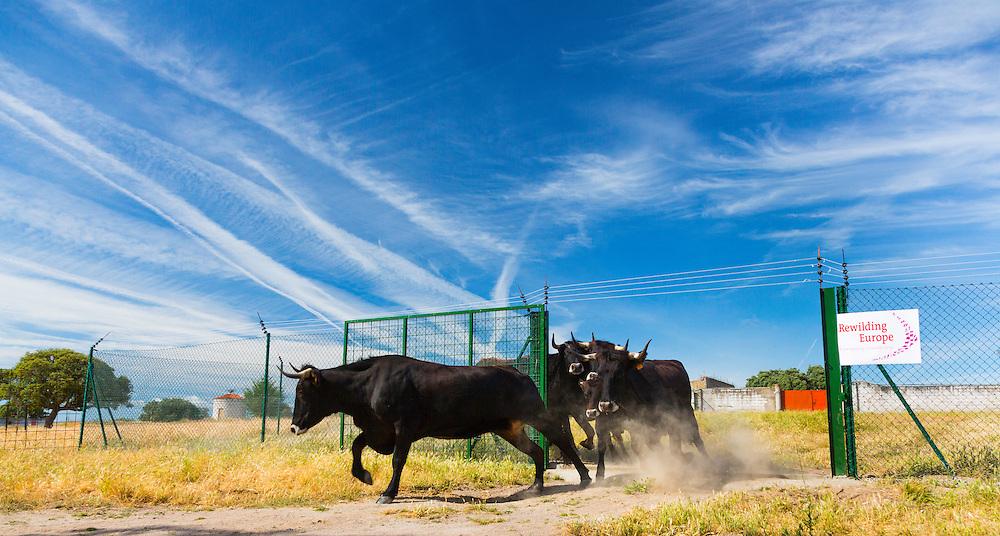 COWS OR CATTLE (Bos taurus o Bos primigenius taurus), Campanarios de Azaba Biological Reserve, Salamanca, Castilla y Leon, Spain, Europe