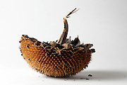 a ripe sunflower head with some seeds left