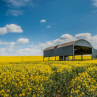 A view of a field with rape seed in England