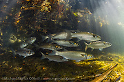 A school of Striped Mullet, Mugil cephalus, swims in the shallows of Blue Springs State Park in Central Florida.