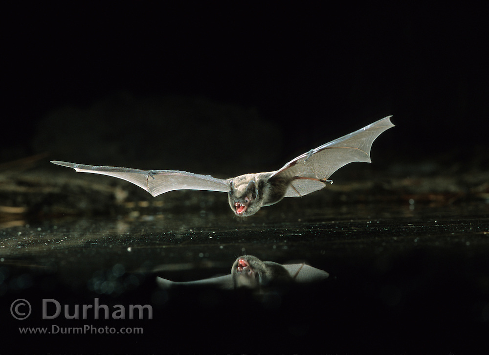 A wild long-legged myotis (Myotis volans) in flight at night over a pond in the Dechutes National Forest, Oregon.