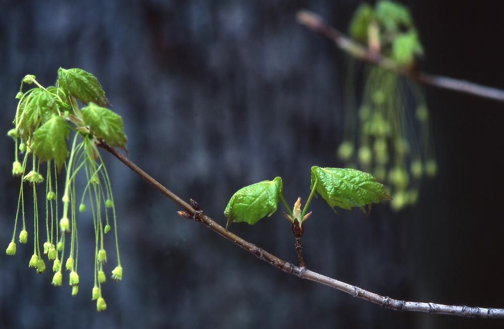 Penn's woods, infant sugar maple leaf, springtime Spring, Pennsylvania