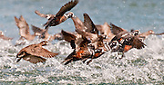 A flock of Harlequin ducks taking off in Kukak Bay along the Katmai Coast, Alaska The Harlequin Duck, Histrionicus histrionicus, is a small sea duck. In North America it is also known as Lords and ladies.