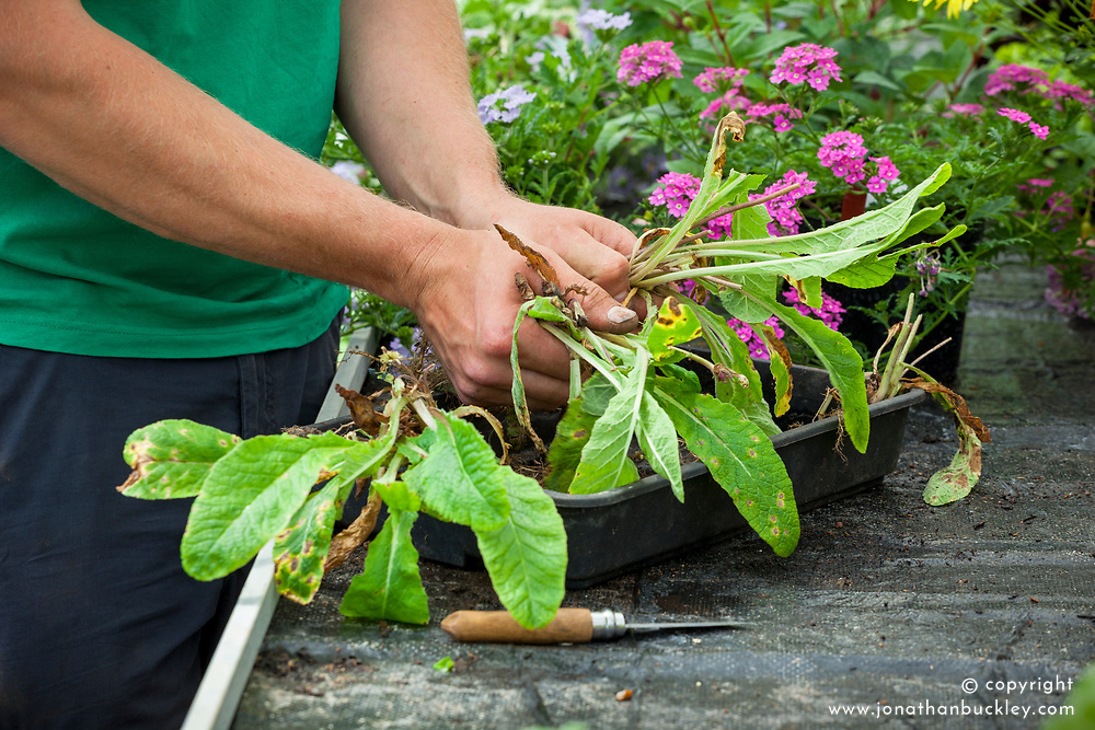 Dividing primulas with a knife after they have finished flowering