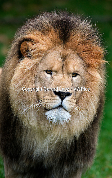 African Lion, panthera leo, Portrait of Male