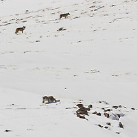 Snow Leopard and the Tibetan Wolves photographed in Spiti Valley of Indian Himalayas.