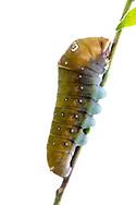 Two-tailed Swallowtail - Hodges#4178 (Papilio multicaudatus) - 5th instar caterpillar<br /> TEXAS: Travis Co.<br /> Austin<br /> 3-May-2015<br /> J.C. Abbott &amp; K.K. Abbott