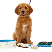 Golden Retriever with bowl, toys, brush sitting and looking at camera