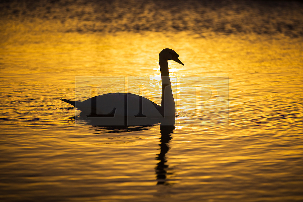 © Licensed to London News Pictures. 02/01/2017. Whittlesey UK. A swan warms up in this morning in the bright sunshine on the river Nene after a freezing night in Cambridgeshire. Photo credit: Andrew McCaren/LNP